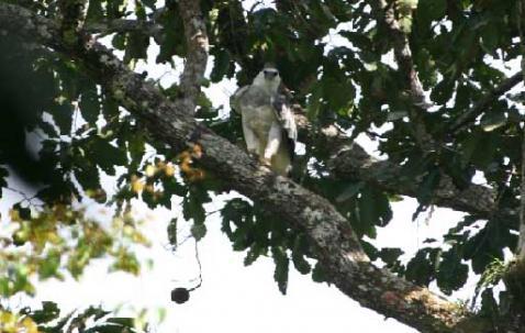 Monitoramento de gavião-real continua em Parintins, AM.