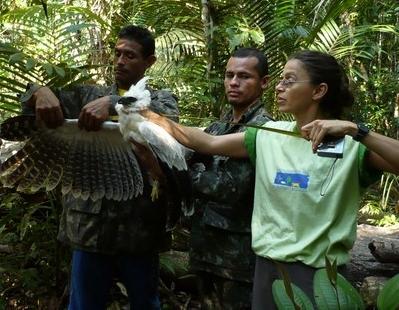 Biometria uiraçu-falso ninho ZF-2, Manaus-AM. 2007.