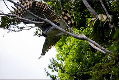 Harpia devolvida à natureza após reabilitação. Bahia. 2008.